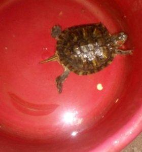 Красноухоя черепаха