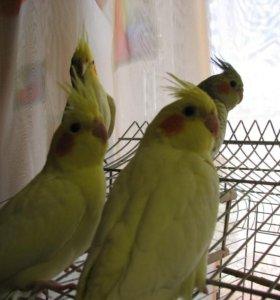 Птенцы корелл