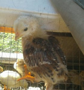 Продам  цыплят от домашних кур