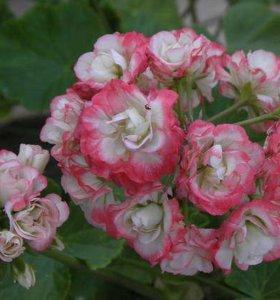 Пеларгонии розебудные Эппл блосом, Скарлет