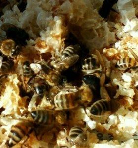 Пчелы для апитерапии