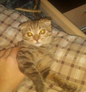 Вислоухий котенок(девочка)