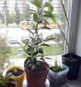Мандариновое дерево.