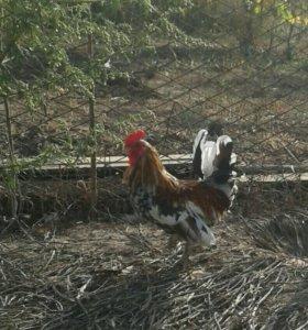 Карликовые курочки, петушки, цыплята