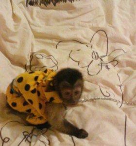 Продам обезьянку капуцин