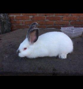 Кролики калифорнийские чистопородные