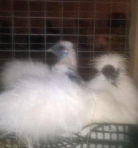 Китайские шелковые цыплята 2,5 месяца