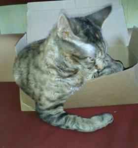 Кошка, Девон-рекс
