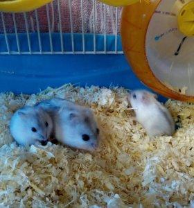 Белые джунгарики (малыши)