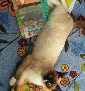 Кот,Сиамский