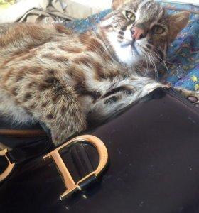 Дальневосточный леопардовый кот в разведение