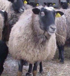 Романовские овцы, ярки , племенные бараны.