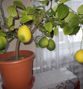 Саженцы комнатного лимона