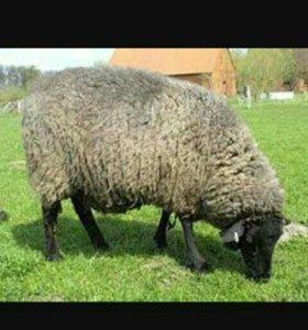 Продам сукотную овцу
