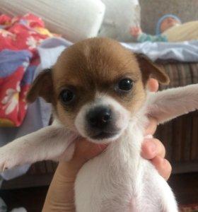 Продам щенка чихуахуа мини.