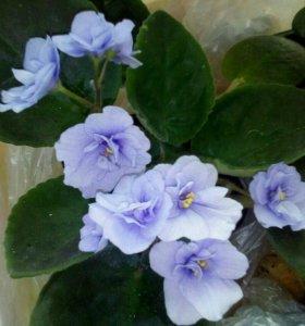 Фиалочки 1 цветение