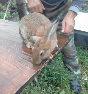 Продам кроликов порода голандские