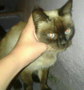 Кошка сиамская.