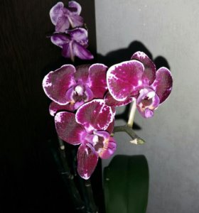 Цветущие орхидеи фаленопсис