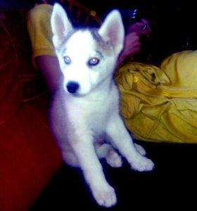 Девочка хаски голубые глазки