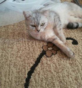 Кошка шотланка