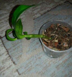 Орхидея Дендробиум (белая)