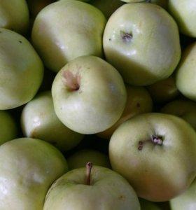 Яблоки (Антоновка душистая) садовые