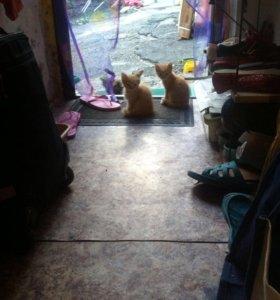 Котята,домашние ,от кошки крысоловки