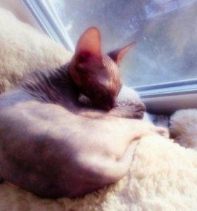 Кошка кличка Роза донской сфинкс! 6 месяцев