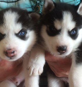 Продам щенков Сибирской хаски