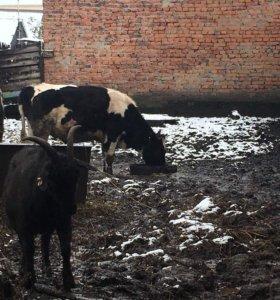 Продам 1,5 годовалых быков