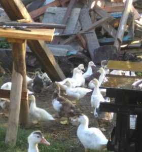 Индо утки белые.