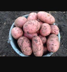 Картофель Алтайский