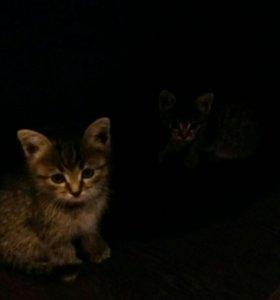 Котята метисы шотландца и британца