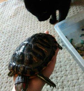 Черепахи красноухие
