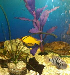 Рыбки цихлиды Еллоу