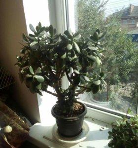 Толстянка (растение)