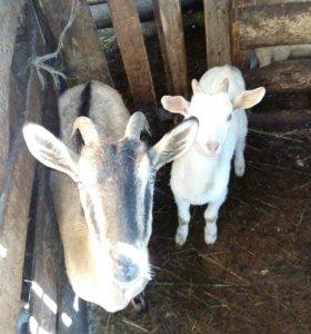 Продается коза с козленком