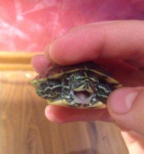 Желтоухая черепаха