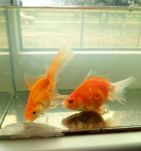 Золотые рыбки, сомик, улитки ампулярии