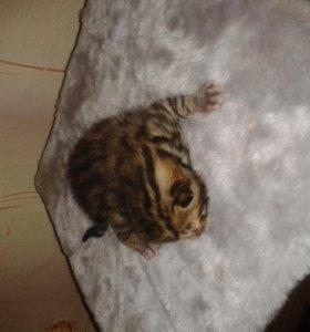 Продам котенка бенгальской породы