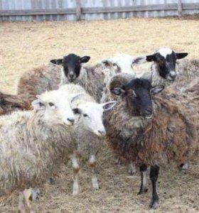Бараны-овцы