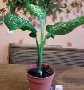 Диффенбахия (Dieffenbachia amoena )