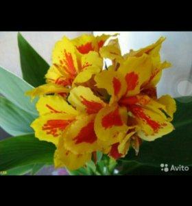 Цветы комнатные канна кислица кактусы монстера