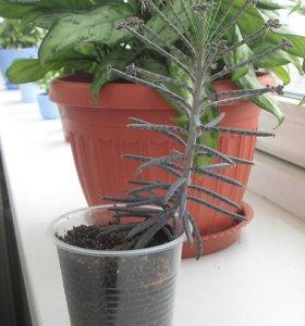 Каланхое трубкоцветковое (Kalanchoe tubiflora)