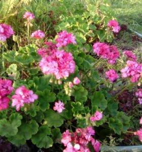 Цветущие кусты герани, укорененные черенки.