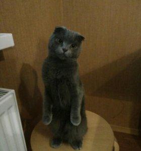 Кот на вязку,шотландец!