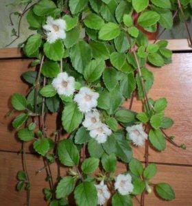 Альсобия гвоздикоцветковая