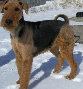 Тримминг истрижка собак