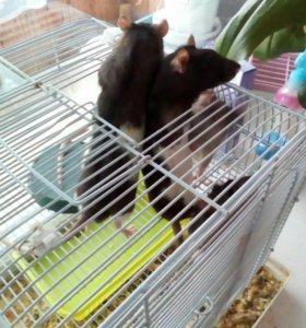 Осталось две крыски мальчик и девочка